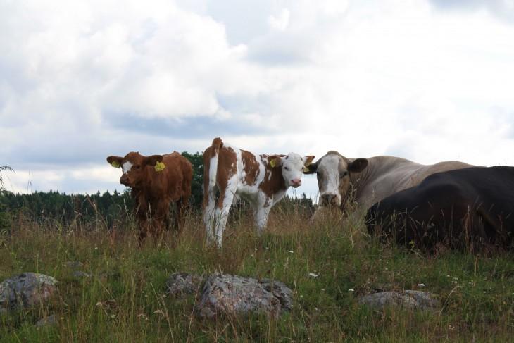 """Nästa leverans av vårt nötkött blir i slutet av juli-början av augusti. Läs mer om sortiment och priser under fliken """"vårt kött""""."""